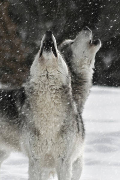 Photograph - Winter Wolves by Wes and Dotty Weber