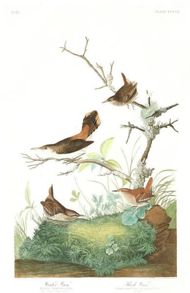 Wren Painting - Winter Wren by John James Audubon