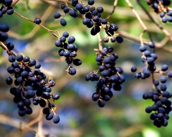 Photograph - Winterberries I by Jai Johnson