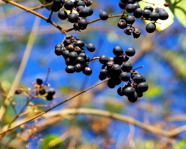 Photograph - Winterberries II by Jai Johnson