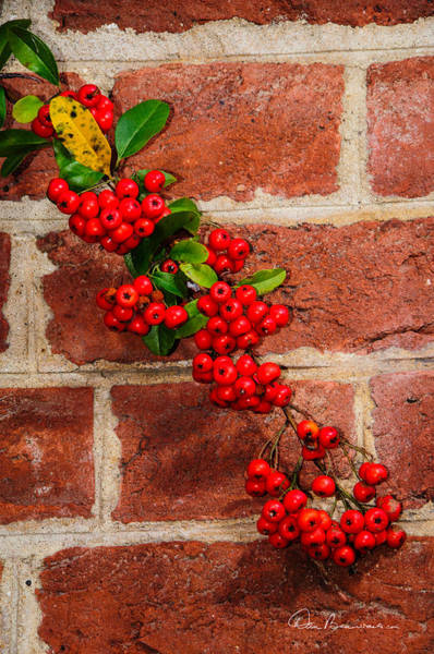 Photograph - Winterberry 0028 by Dan Beauvais