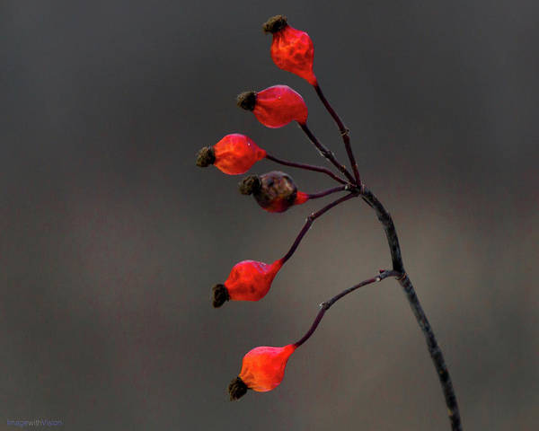 Photograph - Winterberry Cowles Bog by Rich Ackerman