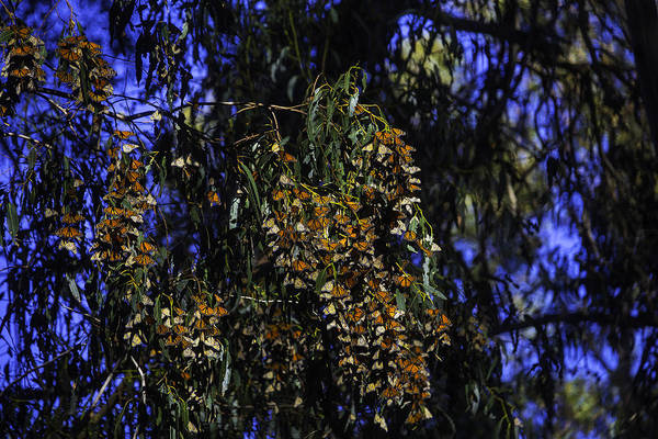 Hundred Photograph - Wintering Monarchs by Garry Gay