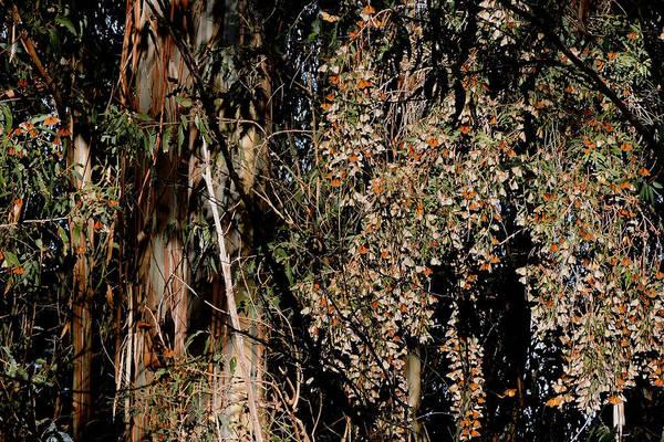 Photograph - Wintering Monarchs by Grace Dillon