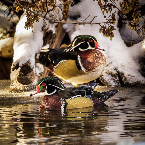 Photograph - Wintering Wood Ducks by TL Mair