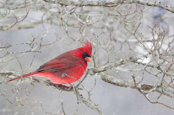Photograph - Wintry Northern Cardinal by Lori Coleman