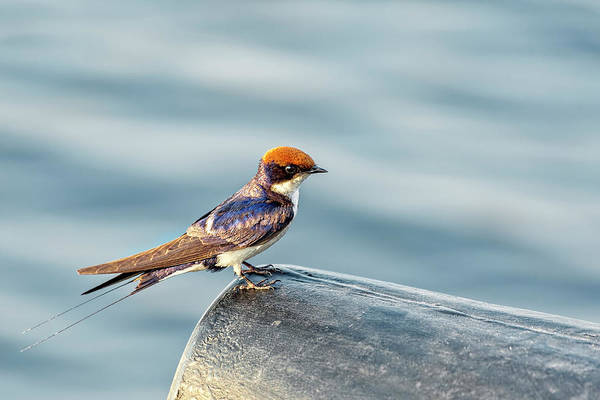 Photograph - Wire-tailed Swallow On Alert by Kay Brewer