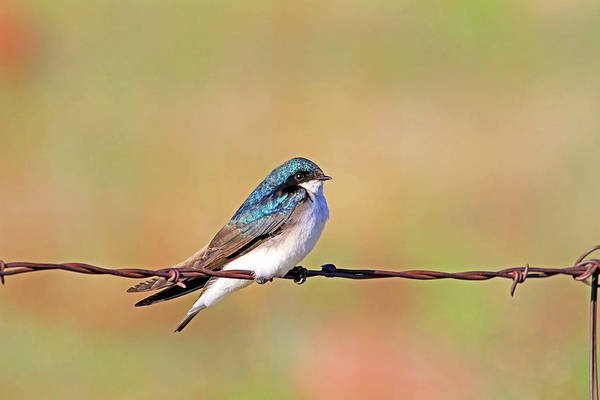 Swallow Photograph - Wired by Donna Kennedy