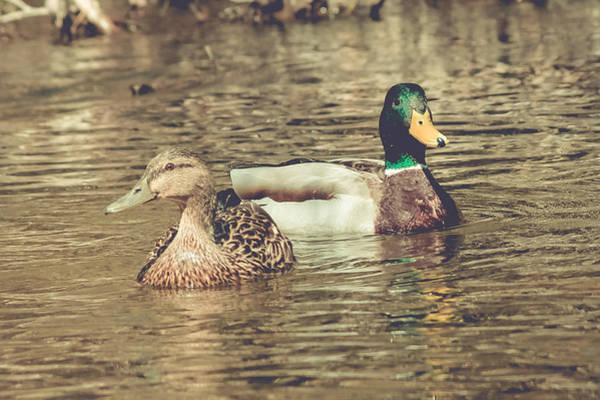 Photograph - Wisconsin Ducks by Viviana  Nadowski