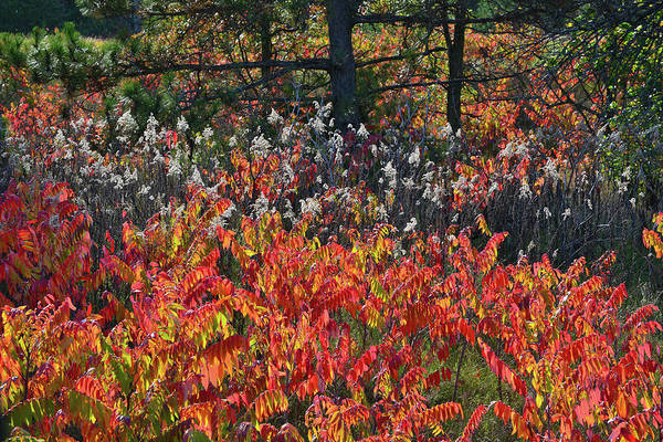 Photograph - Wisconsin Forest Fall Color Sumac by Ray Mathis