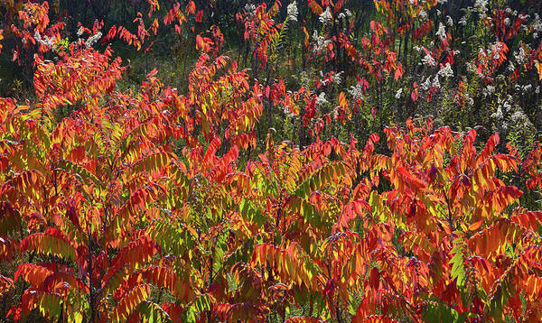 Photograph - Wisconsin Sumac Fall Color  by Ray Mathis