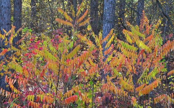 Photograph - Wisconsin Sumac In Fall Color by Ray Mathis
