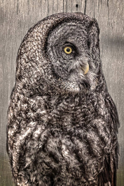 Photograph - Wise Old Owl by Wes and Dotty Weber
