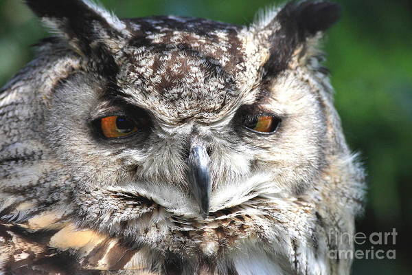 Photograph - Wise Old Owl by Wingsdomain Art and Photography