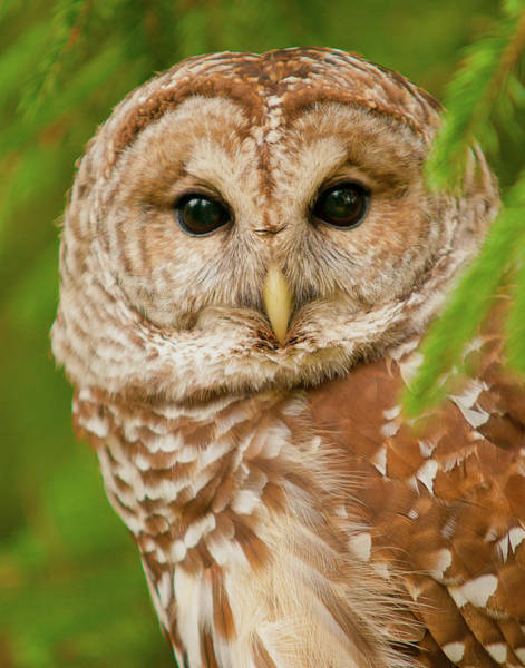 Barred Owl Photograph - Wise One by Ron  McGinnis