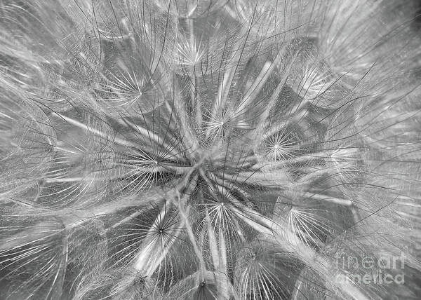 Photograph - Wispy Weed Macro In Black And White by Carol Groenen