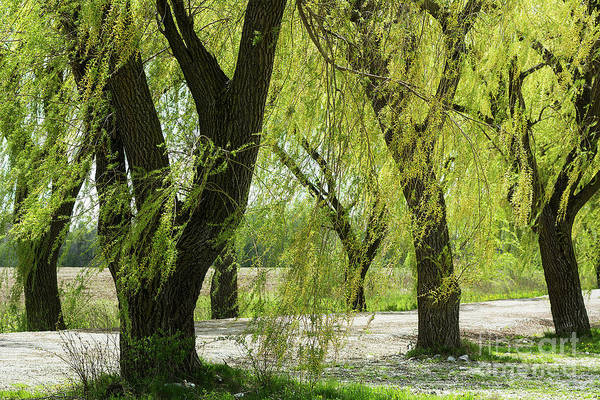 Photograph - Wispy Willows-1 by Steve Somerville
