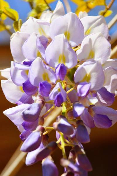 Photograph - Wisteria 2 by Lisa Wooten