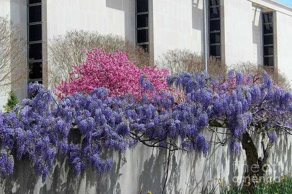Photograph - Wisteria And Cherry Blossoms by Karen Adams