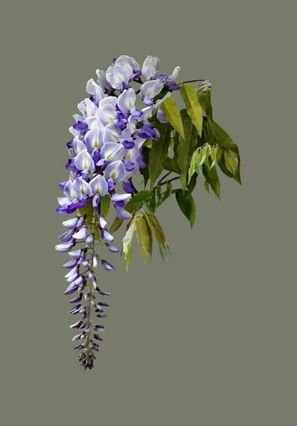 Photograph - Wisteria And Leaves by Susan Savad