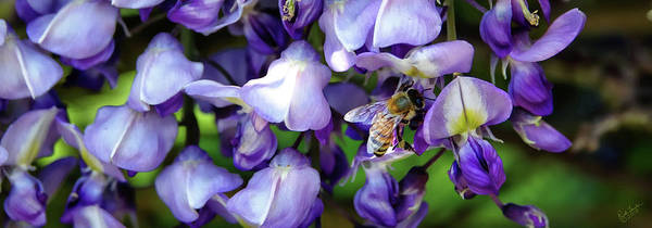 Photograph - Wisteria Bee by Rick Lawler