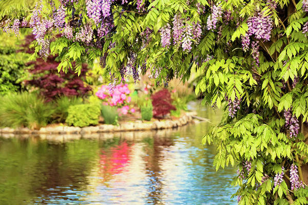 Photograph - Wisteria By The Lake - Beacon Hill Park Victoria by Peggy Collins