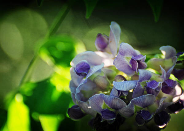 Sherman Photograph - Wisteria Frutescens Amethyst Falls by Rebecca Sherman