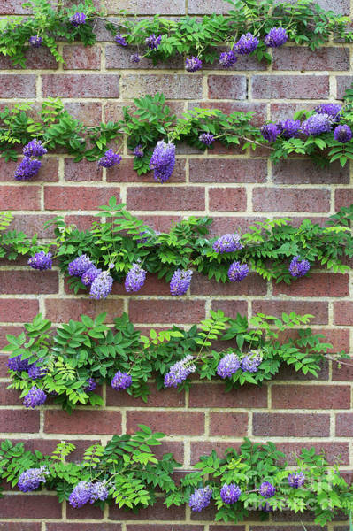 Wall Art - Photograph - Wisteria Frutescens Longwood Purple by Tim Gainey