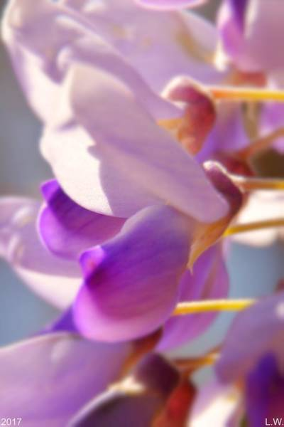Photograph - Wisteria by Lisa Wooten