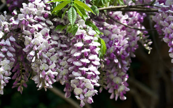 Wisteria Wall Art - Photograph - Wisteria  by Teresa Mucha