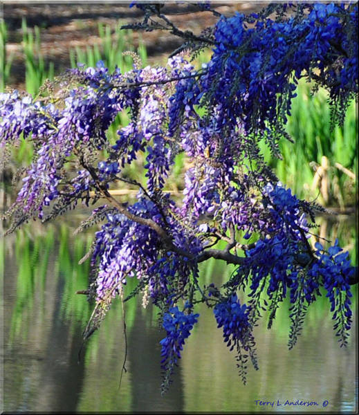 Honor Heights Park Photograph - Wisteria by Terry Anderson