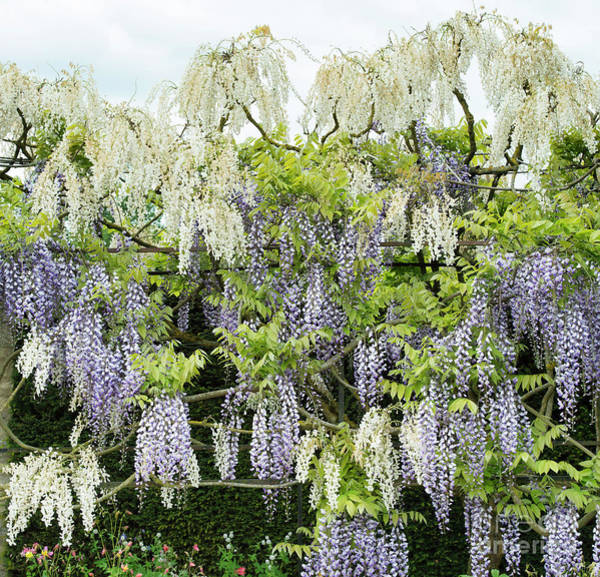 Wall Art - Photograph - Wisteria by Tim Gainey