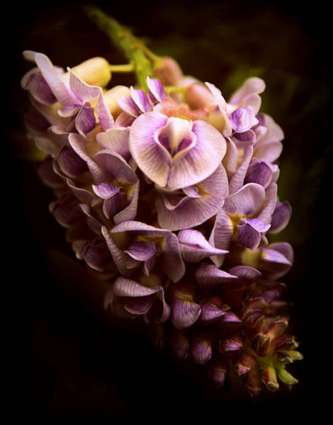 Photograph - Wisteria Whisper by Jessica Jenney