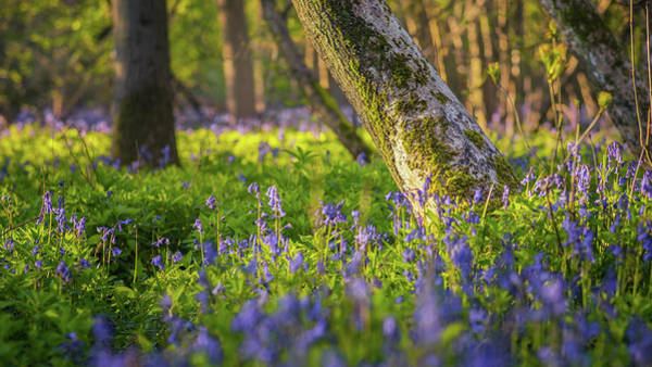 Photograph - Wistow Wood Bluebells 5 by James Billings