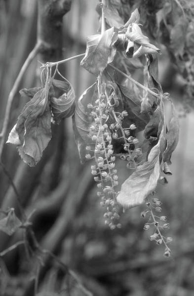Photograph - Withered Pokeweed by Cate Franklyn