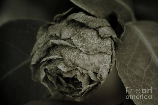 Photograph - Withered Rosebud by Patricia Strand