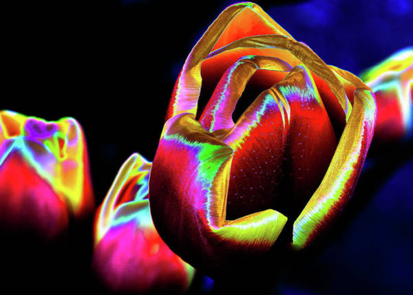 Photograph - Withering Tulips by David Patterson