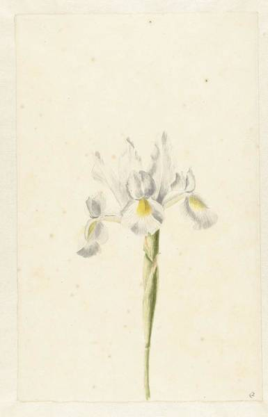 Painting - Witte Iris  Pieter Withoos  Possibly   1664  1693 by Artistic Panda