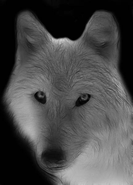 Arctic Wolves Photograph - Wolf - Black And White by Sandy Keeton