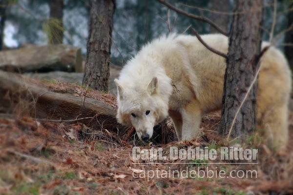 Photograph - Wolf 5802 by Captain Debbie Ritter