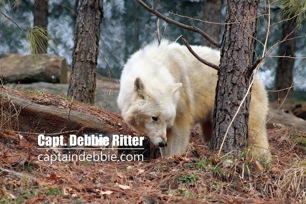 Photograph - Wolf 5803 by Captain Debbie Ritter