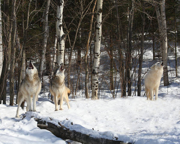 Arctic Wolves Photograph - Wolf Choir by Gerry Sibell