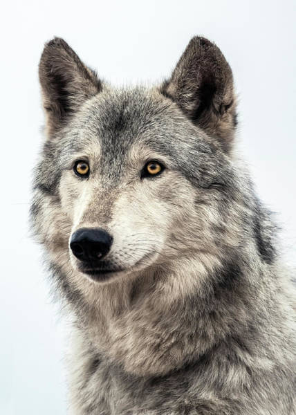 Wall Art - Photograph - Wolf by Dawn Key