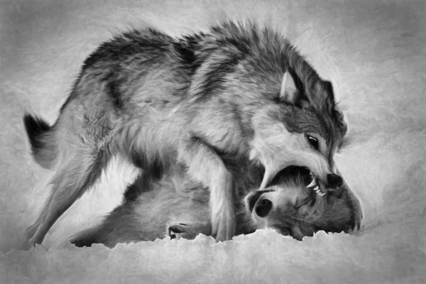 Photograph - Wolf Disciplined B And W by Wes and Dotty Weber