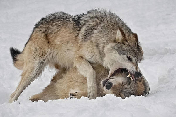 Photograph - Wolf Disciplined by Wes and Dotty Weber