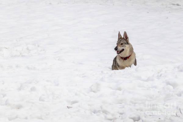 Czechoslovakian Photograph - Wolf Dog by Benny Marty