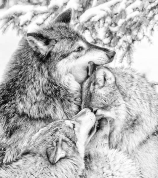 Photograph - Wolf Family by Wes and Dotty Weber