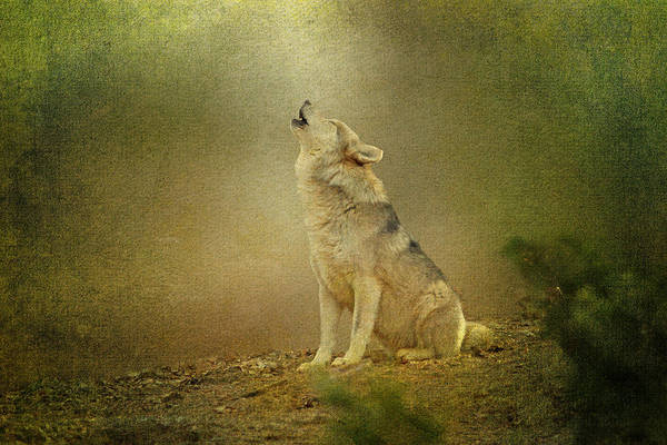 Photograph - Wolf Howling by Sandy Keeton