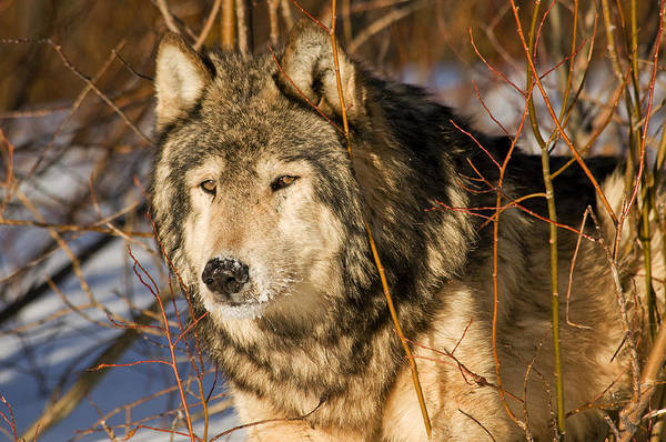 Photograph - Wolf In Brush by Scott Read