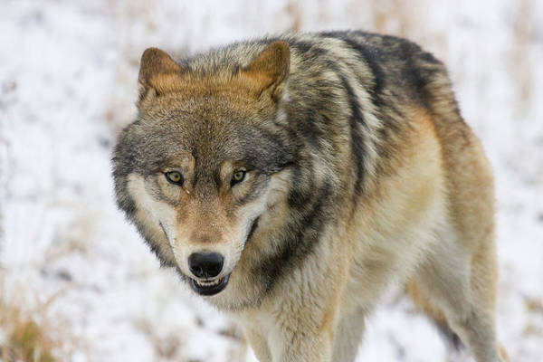 Photograph - Wolf In The Wild by Mark Miller